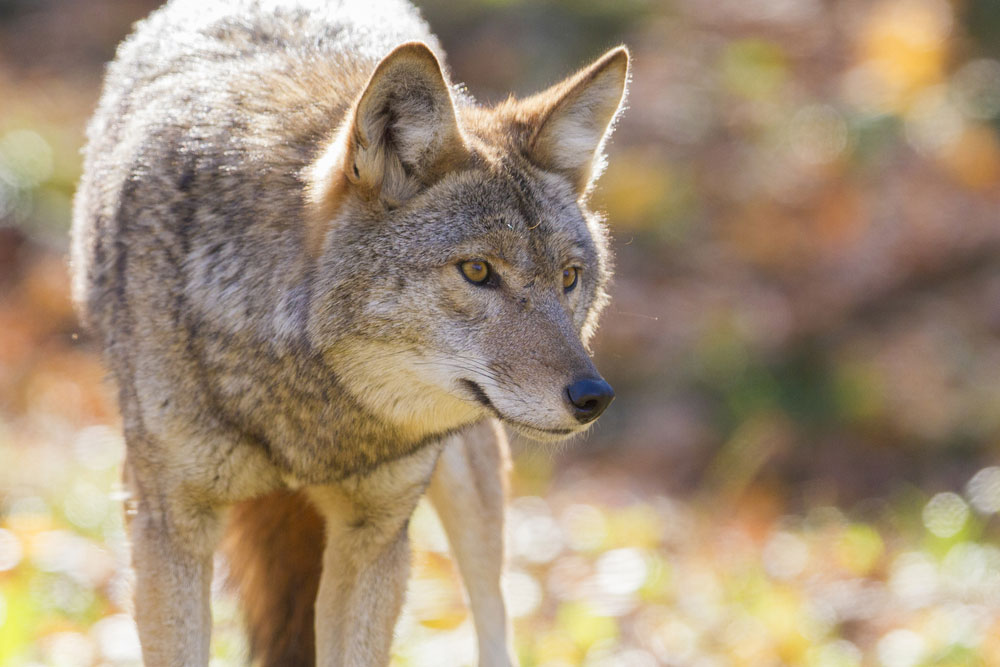 Coyotes Removal
