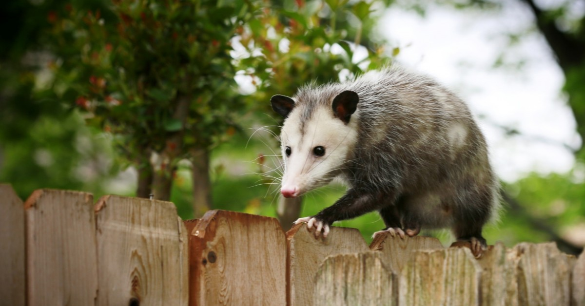 Opossums Removal